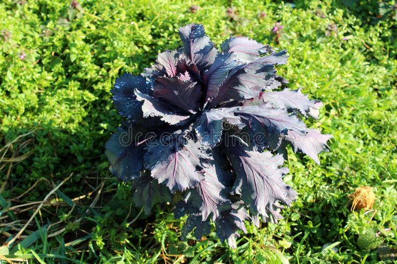 Young purple cabbage plant growing in home garden. Surrounded with dense small plants and grass on warm sunny winter day royalty free stock image