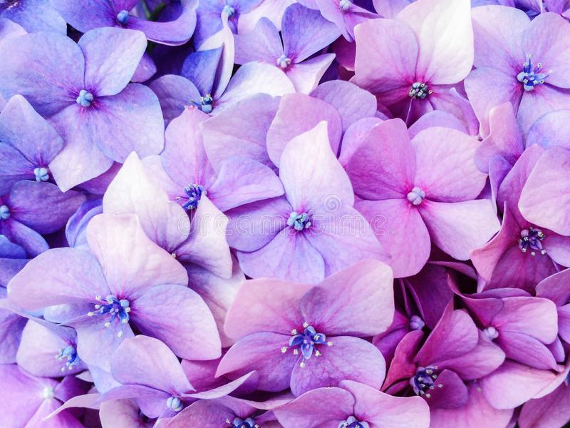 Young purple hydrangea flowers bushes in the summer garden stock images