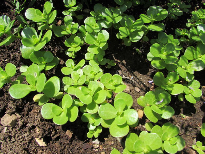 Young purslane plants stock photo image of herbs edible for Dream plants for the natural garden