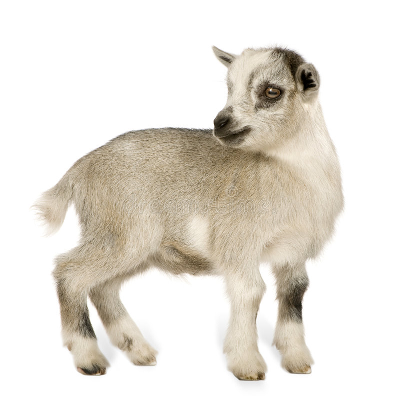 Young Pygmy goat royalty free stock image