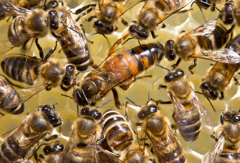 The young queen bee moves on honeycombs stock photography