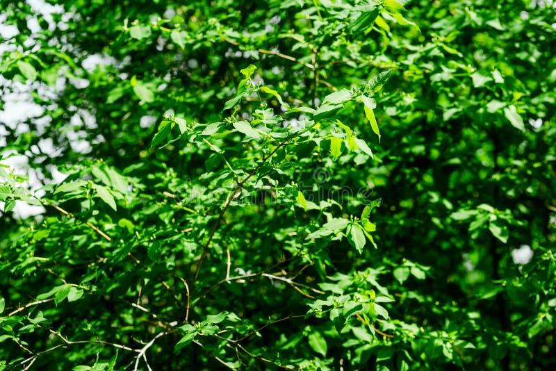 Young quercus robur tree stock photo