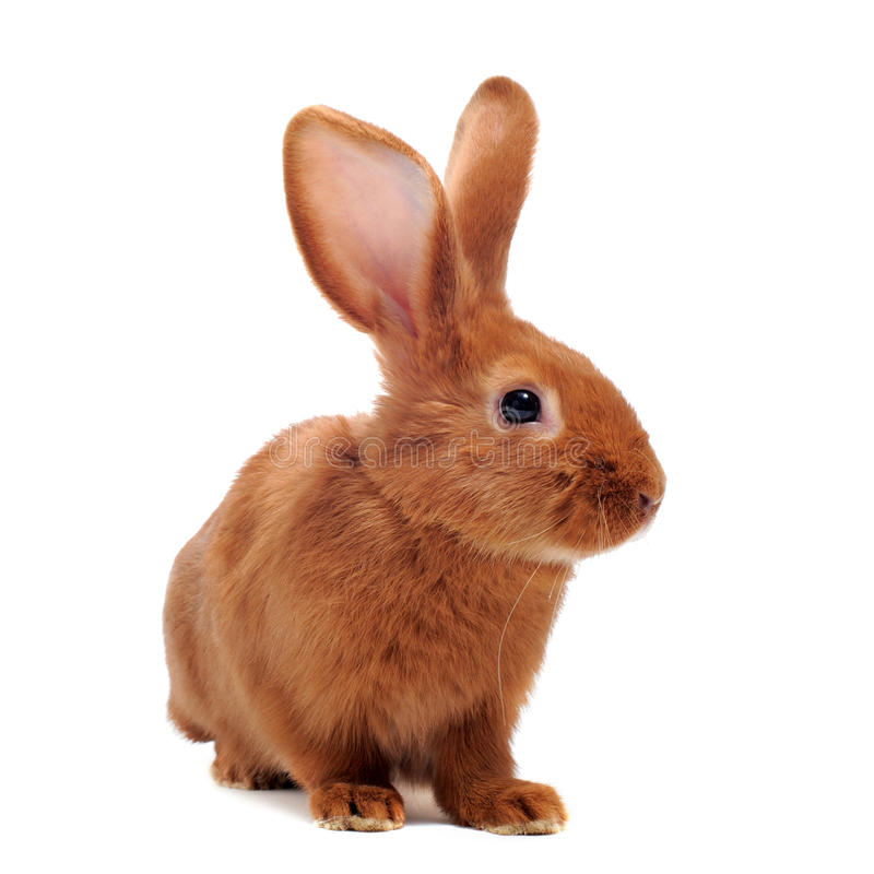 Download Young rabbit stock image. Image of brown, farm, domestic - 26366583