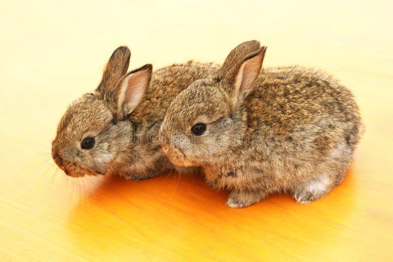 Young rabbits