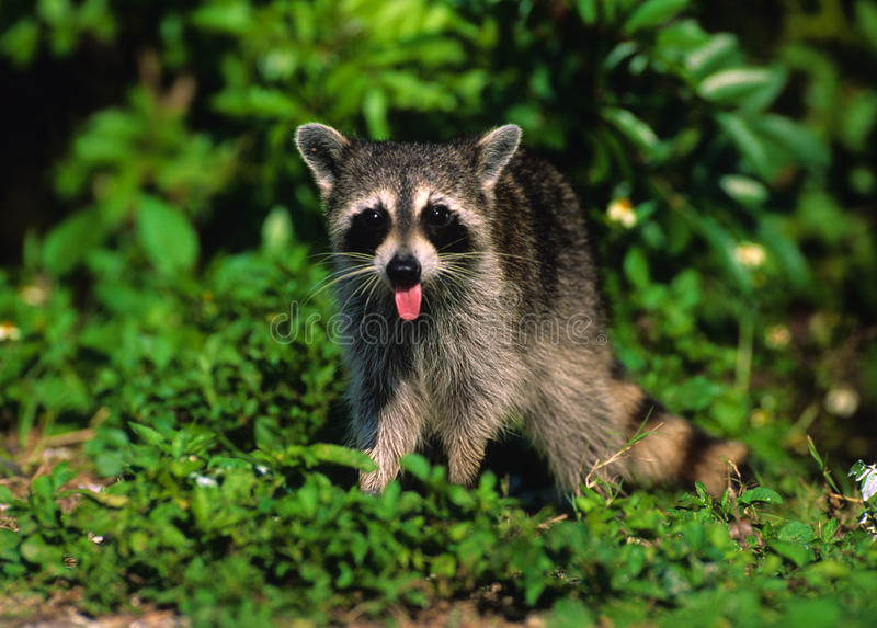 Young Raccoon royalty free stock images