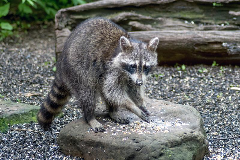 Young raccoon eating on a rock stock photography