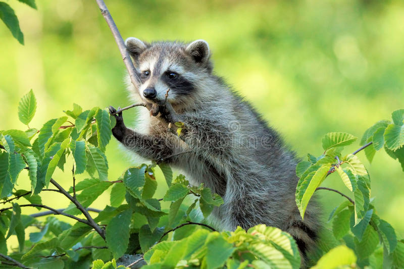 A young raccoon putting some thought in to it royalty free stock images