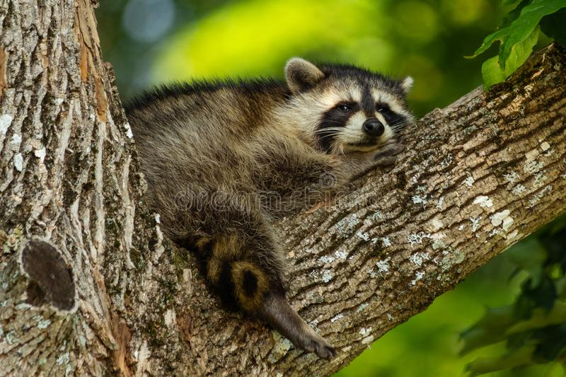 Young raccoon resting in the branch of a tree. stock image