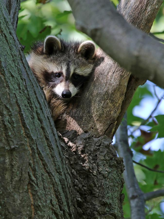 Young Raccoon Looking. A young Raccoon rocyon lotor sitting in the `Y` of a tree. Shot in Wheatley Provincial Park, located in Ontario, Canada stock photography