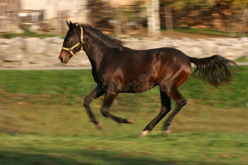 Young Racing Stallion Stock Photo