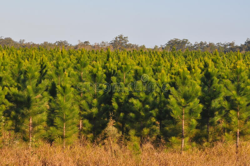 Download Young Radiata Pine Plantation Stock Image - Image: 11383273