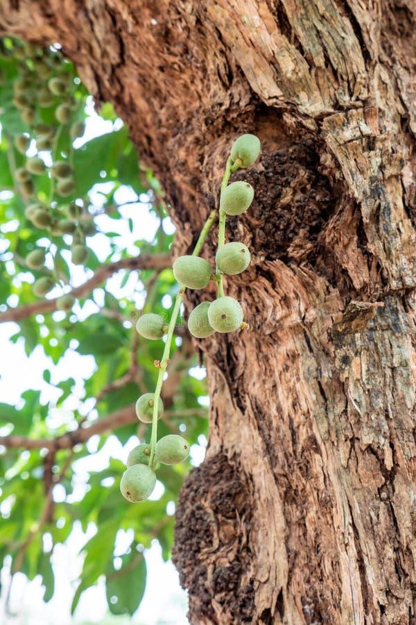 Young Rambeh or Rambi on Tree stock photos