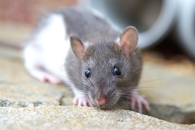 Download Young Rat Royalty Free Stock Photo - Image: 18551945