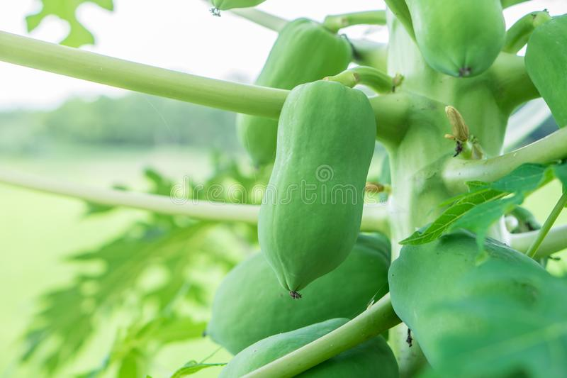 Young raw papaya fruit on tree with green leaves royalty free stock photography