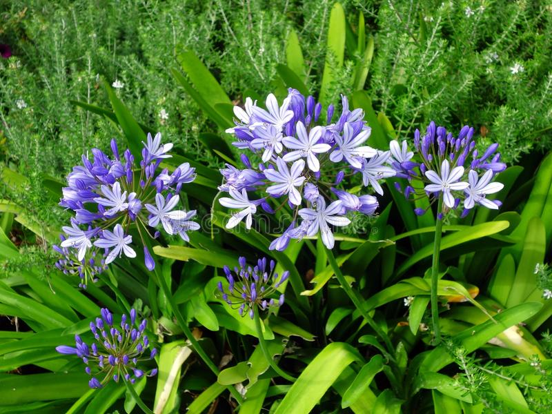 Purple Agapanthus Flowers Growing in Lush Green Garden. Young recently bloomed agapanthus flowers growing amongst overgrown garden greenery royalty free stock photography