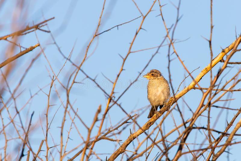 Young Red-backed shrike or Lanius collurio sitting on a branch royalty free stock photos