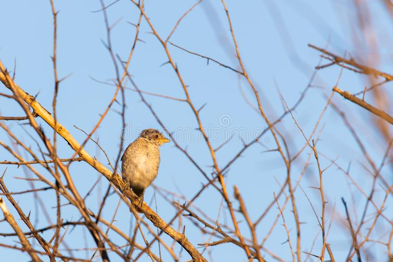Young Red-backed shrike or Lanius collurio sitting on a branch stock photo