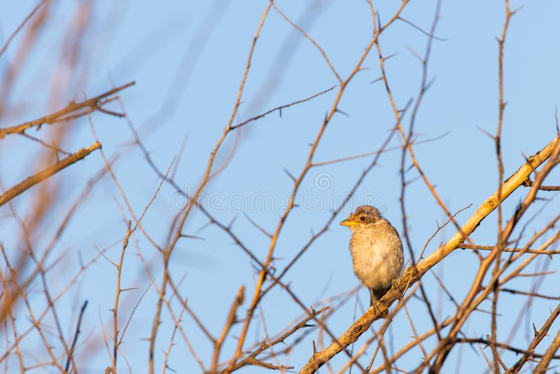 Young Red-backed shrike or Lanius collurio sitting on a branch stock images