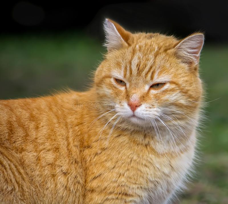 Young red cat with green eyes on summer grass background in a country yard. Young active red cat with green eyes on summer grass background in a country yard royalty free stock photography