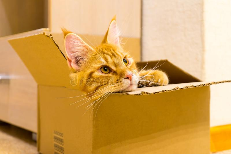 Young red cat of Maine Coon breed sitting in the box and watchin stock photos