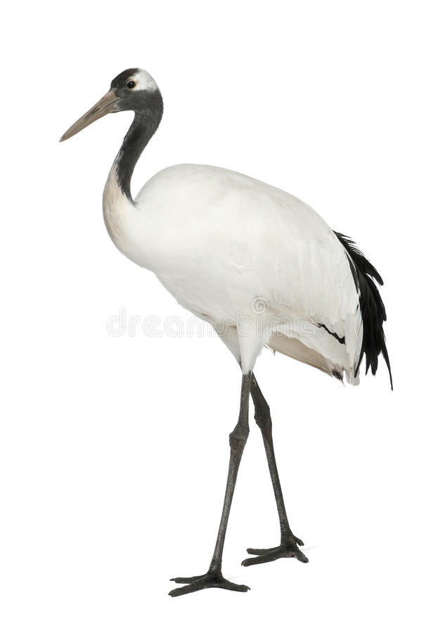 Free Young Red-crowned Crane, Grus Japonensis Stock Photos - 24708463