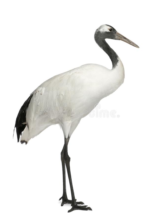 Young Red-crowned Crane, Grus japonensis, also called the Japanese Crane or Manchurian Crane. Standing in front of white background stock photography