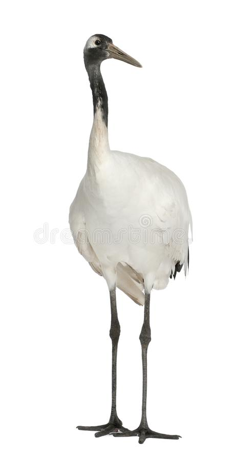 Young Red-crowned Crane, Grus japonensis, also called the Japanese Crane or Manchurian Crane. Standing in front of white background stock photo