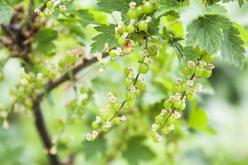 Young red currant royalty free stock photography