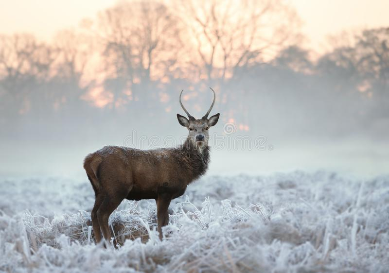 Young red deer standing on a cold winter morning royalty free stock images