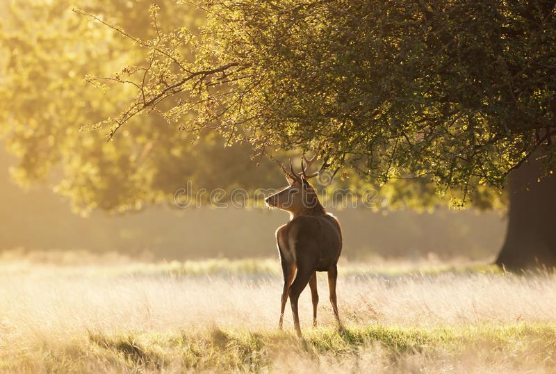 Young Red deer standing under the tree at sunrise royalty free stock images