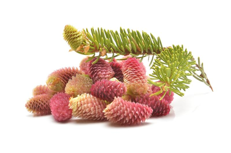 Young red fir cones on white background royalty free stock image