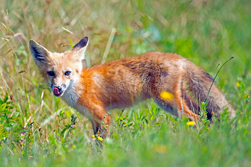 Download Young Red Fox stock photo. Image of closed, refuge, cute - 25408988