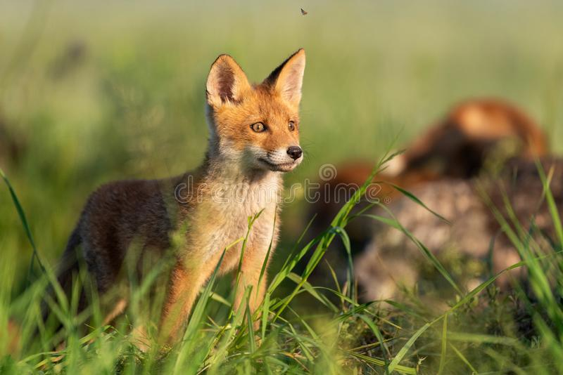 Young red Fox stands in the grass on a beautiful light royalty free stock photo