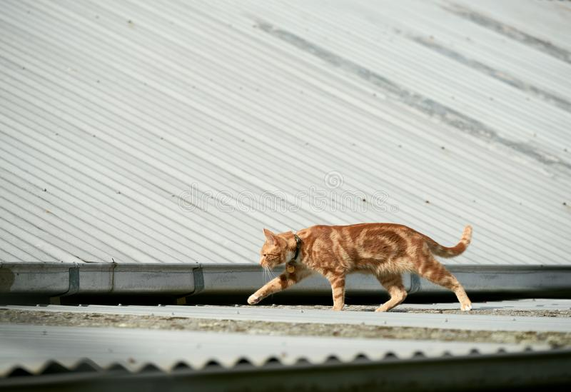 Young red ginger tabby cat walking across a corrugated iron roof stock photo