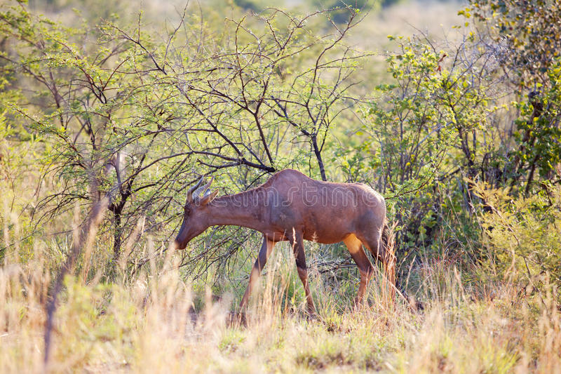 Young red hartebeest grazing in nature reserve. Single young red hartebeest grazing in nature reserve stock photos
