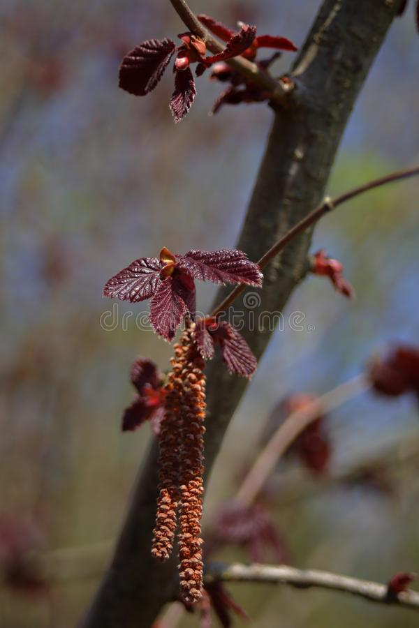 Young red hazelnut leaves and catkins stock photo