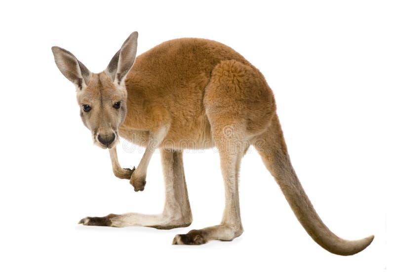 Young red kangaroo (9 months) - Macropus rufus stock image