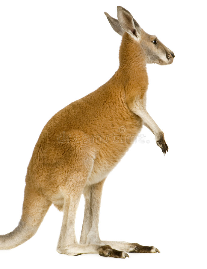Download Young Red Kangaroo (9 Months) - Macropus Rufus Royalty Free Stock Photos - Image: 5207848