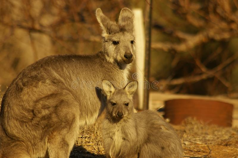 Young red-necked wallaby feeding from it's mother. In a backyard during a very dry, drought stricken season in rural New South Wales, Australia royalty free stock images