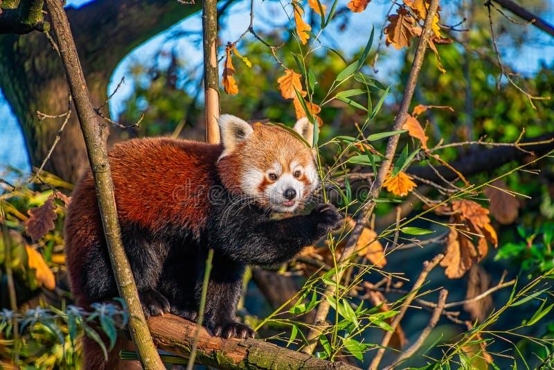 Young Red Panda eet bamboe stock afbeeldingen