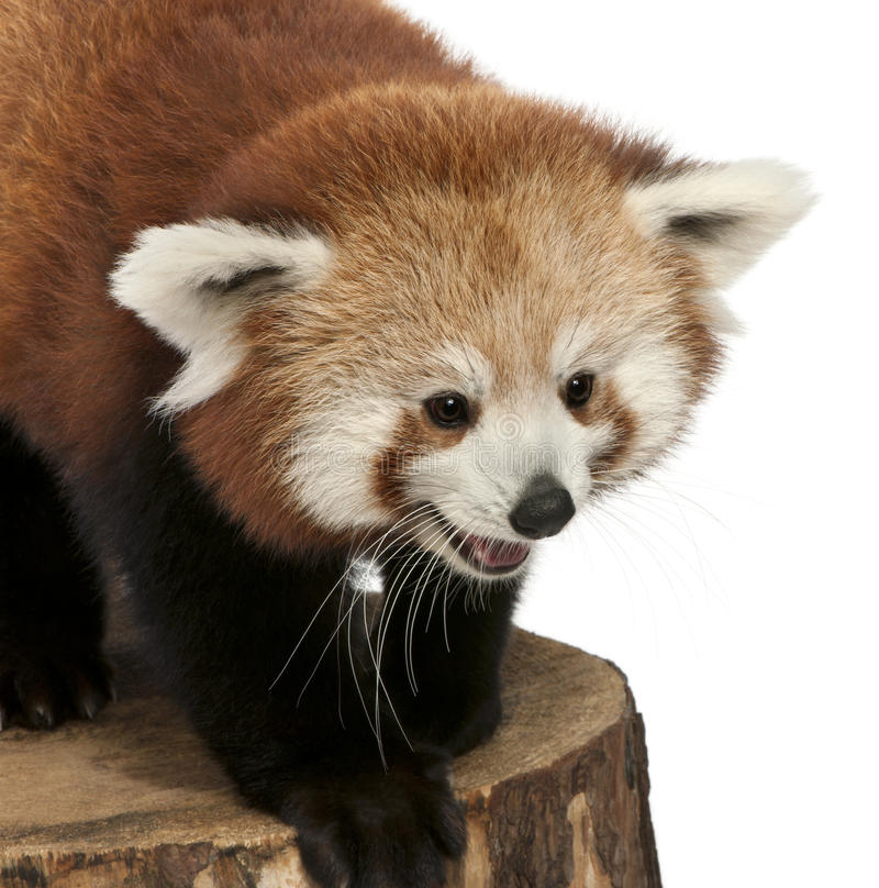 Young Red panda or Shining cat, Ailurus fulgens. 7 months old, on tree trunk in front of white background royalty free stock images