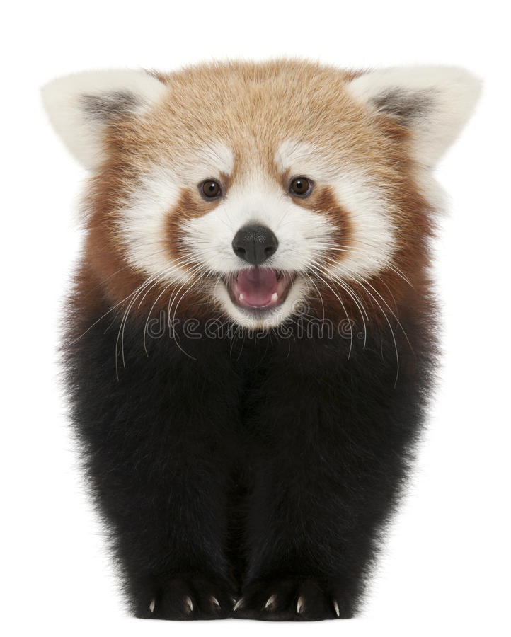 Young Red panda or Shining cat, Ailurus fulgens. 7 months old, in front of white background royalty free stock images