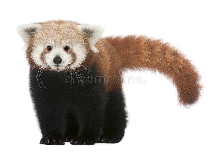 Young Red panda or Shining cat, Ailurus fulgens. 7 months old, in front of white background royalty free stock photo