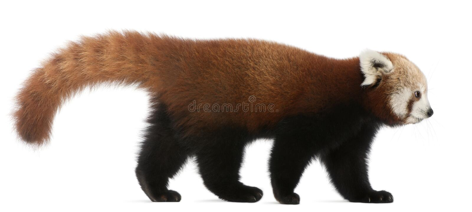 Young Red panda or Shining cat, Ailurus fulgens. 7 months old, in front of white background royalty free stock image