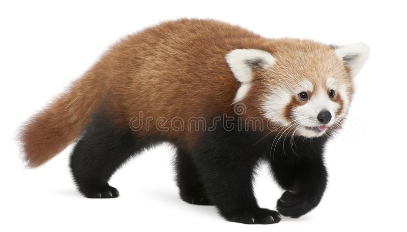 Young Red panda or Shining cat, Ailurus fulgens, 7 months old. In front of white background stock photo