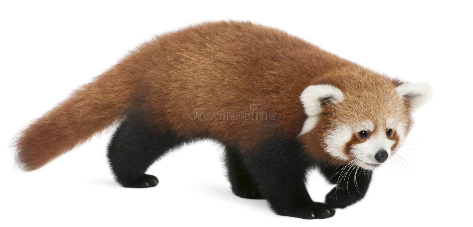 Young Red panda or Shining cat, Ailurus fulgens, 7 months old. In front of white background stock photography