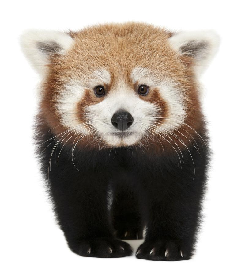 Young Red panda or Shining cat, Ailurus fulgens, 7 months old. In front of white background stock image