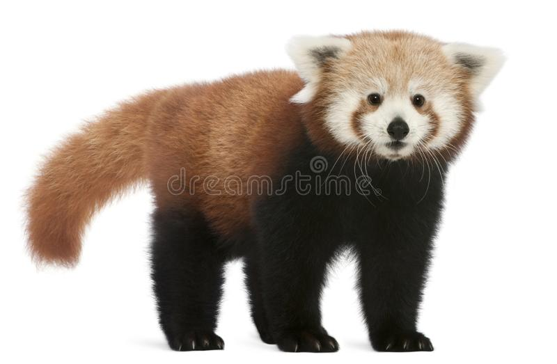 Young Red panda or Shining cat, Ailurus fulgens, 7 months old. In front of white background royalty free stock images