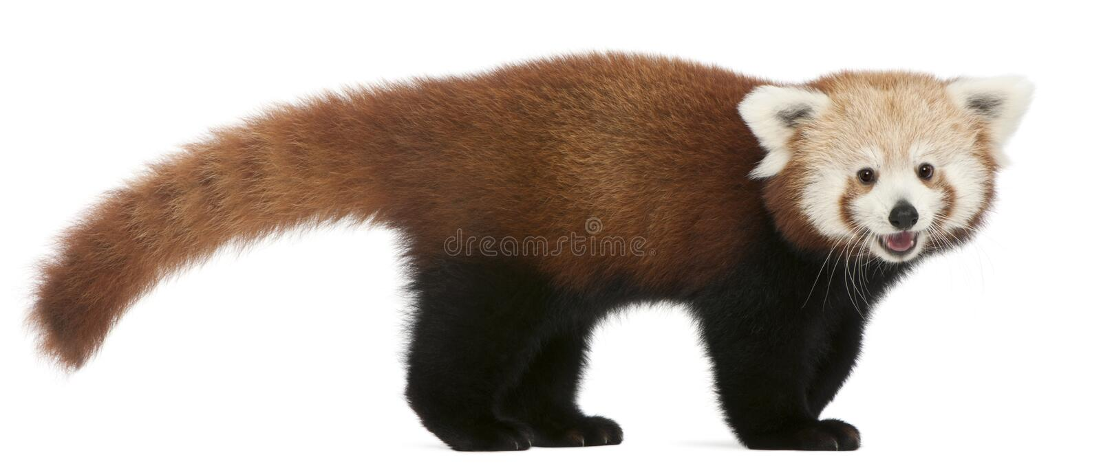 Young Red panda or Shining cat, Ailurus fulgens, 7 months old. In front of white background royalty free stock image
