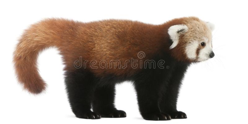 Young Red panda or Shining cat, Ailurus fulgens, 7 months old. In front of white background royalty free stock photo
